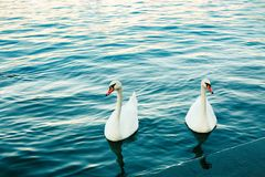 Two white swans in river at sunset. Swan love. Cygnus. Blue water and graceful birds. Lake. Romantic background Stock Photo