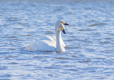 Two white swans sailing on a lake Stock Image