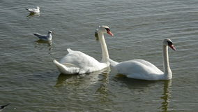 Two white swans in  sea and seagulls. Two white swans in the sea and seagulls stock footage