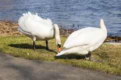 Two white swans on the beach Stock Images