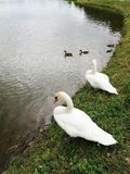 Two white swans on the shore of the pond. And ducks swim in the water stock photography