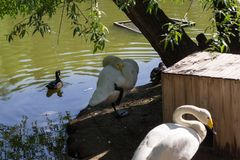 Two white swans on the shore. Sleep with their faces buried in their wings and a gray duck swims along the lake in the shade of trees in the Novosibirsk Zoo Royalty Free Stock Photo