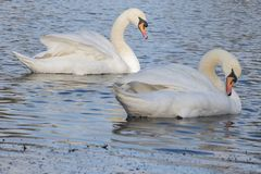 Two mute swans on Southampton Common stock photo