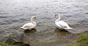 Two white swans standing in a river, beside the river bank stock video footage