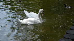 Two white swans swim in a forest lake. Idyll. stock video footage