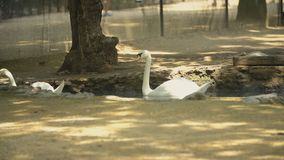 Two white swans swim in the hole. In the shade stock video footage