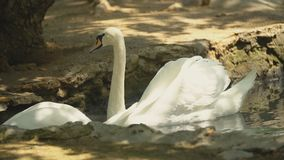 Two white swans swim in the hole. In the shade stock video