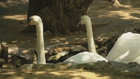 Two white swans swim in the hole. In the shade stock footage