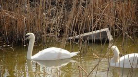 Two white swans swimming in the dry reeds. Two swans on the pond in the middle of the dry reeds stock video