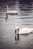 Two white swans swimming in Hyde Park, London. Stock Photo