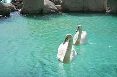 Two white swans. Swimming in the lake stock image