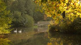Two white swans swimming in the lake, with autumn forest reflection, at sunset stock video