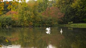 Two white swans swimming in the lake, with autumn forest reflection, at sunset. Public park stock video footage