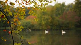 Two white swans swimming in the lake, with autumn forest reflection, at sunset. Public park stock footage