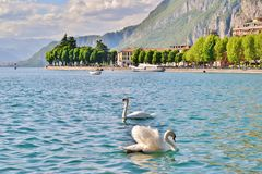 Two white swans swimming in the lake Como bay in front of town of Lecco. stock photo