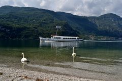 Two white swans swimming on lake Como and a ferry in summer. Stock Image
