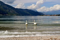 Two white swans swimming on lake Como in summer. Royalty Free Stock Image