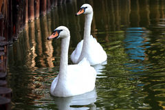 Two white swans swimming in the pond Royalty Free Stock Photos