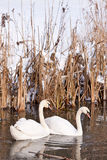 Two white swans swimming in the  water Stock Image