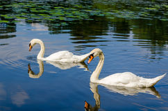 Two white swans are swimming on water in nature Royalty Free Stock Photo