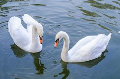 Two white swans swims in a pond together. Closeup royalty free stock photo