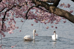 Two white swans under blooming tree Royalty Free Stock Photography