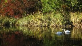 Two White swans. Under the colorful trees floating on the surface of a blue lake Stock Image