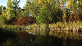 Two white swans. Under the colorful trees floating on the surface of a blue lake Royalty Free Stock Photography