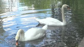 Two white swans. On water stock video