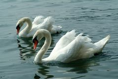 Two white swans on the water, Lago Maggiore, Italy. royalty free stock photo