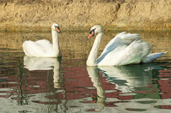 Two white swans in water. Royalty Free Stock Photography