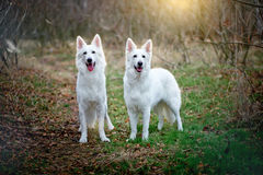 Two white Swiss sheepdogs are  walking in the wood Royalty Free Stock Photography