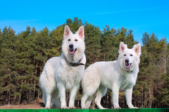 Two white Swiss Shepherds. White Swiss Shepherds standing on green platform Stock Photo