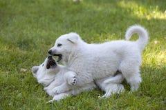 Two White Swiss Shepherds puppies Stock Photo