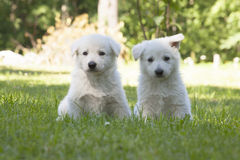 Two White Swiss Shepherds puppies Stock Image