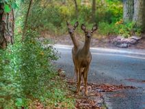 Two headed Deer. The two white tail deer looked as one as I took a photo of them.  The ears are wide open and up and it was very unusual picture royalty free stock photo