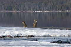 Two White Tail Deer At Snyder Creek #3 Royalty Free Stock Photos
