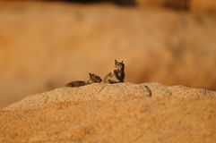 Two White Tailed Antelope Squirrel Ammospermophilus leucurus Royalty Free Stock Photos