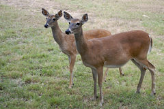 Two White-Tailed Deer  Royalty Free Stock Photos