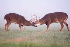 Two white-tailed deer bucks in fog Stock Image
