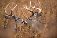 Two white-tailed deer bucks. Two large white-tailed deer bucks walking through heavy brush in Smoky Mountain National Park Stock Image