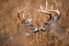 Two white-tailed deer bucks. Two large white-tailed deer bucks walking through heavy brush in Smoky Mountain National Park Royalty Free Stock Photos