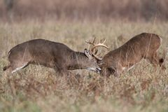 Two white-tailed deer bucks sparring stock photography
