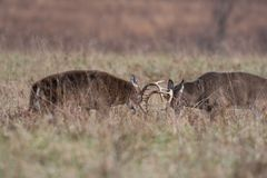 Two white-tailed deer bucks sparring royalty free stock image