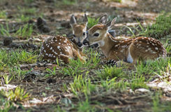 Free Two White Tailed Deer Fawns Laying In Green Grass. Stock Image - 74160331