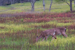 Two White Tailed Deer Feed on Grass Royalty Free Stock Photos