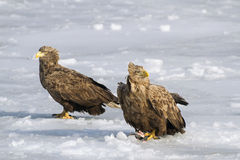 Pair Sea eagles stock photography