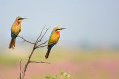 Two white throated bee eaters Royalty Free Stock Image