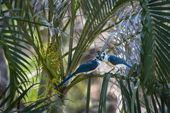 Two White-throated magpie-jays in the Palm Trees Royalty Free Stock Images