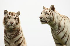 Two white TIGERS Royalty Free Stock Photo